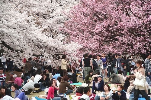 Hanami - Cherry blossoms - recreational activities